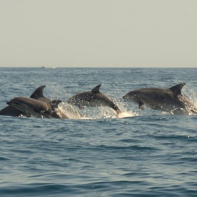 Common Dolphins from the Algarve Coast