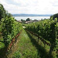 Cave Guillod vineyard