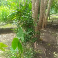 Come chill under the moringa trees