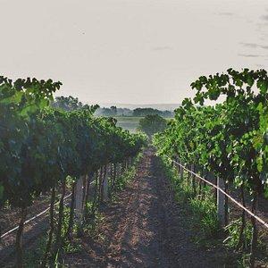ven y conoce nuestras 36 hectareas de viñedos