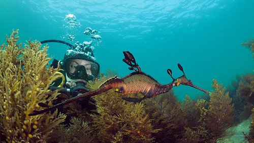 Scuba Diving with Weedy Seadragons