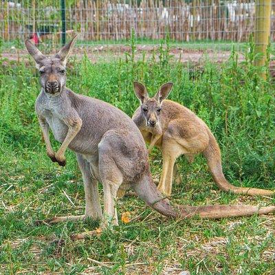 Watch the kangaroos