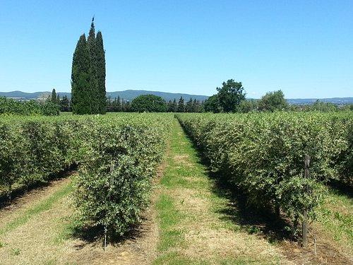 Nuovi oliveti a filare