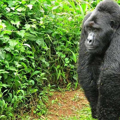 Magestic mountain gorilla silverback at Bwindi Impenetrable National Park