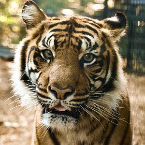Come visit our tigers in the Indonesian Rain forest.