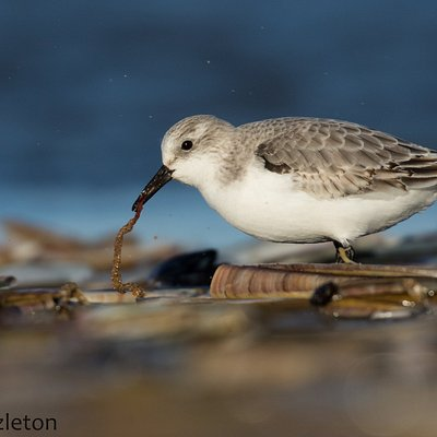 Sanderling feeding on razor clams on Titchwell beach