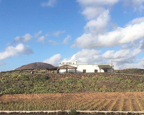 Nuestra finca de La Oliva, con 100.000 metros, 6.000 plantas de aloe vera y servicio de Aloetera