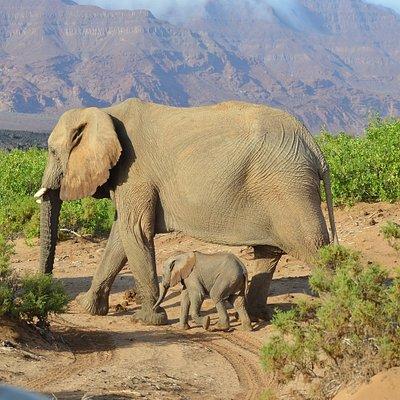 Desert Elephants in the springs of the Ugab in Damaraland