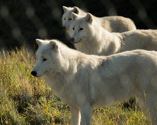 Ajaja, Marraq, & Siija the Artic Wolves