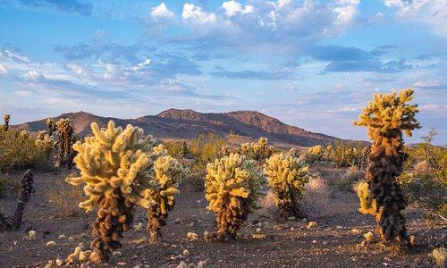 Bigelow Cholla Garden, Mojave Trails National Monument (BLM/KyleSullivan)