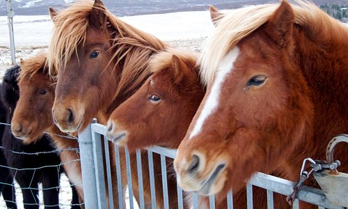 Don't miss the opportunity to feed these beautiful Icelandic horses during your Golden Circle tour!