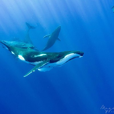 Humpbacks and dolphins playing together