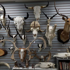 There are literally hundreds of different skulls on display and for sale here!