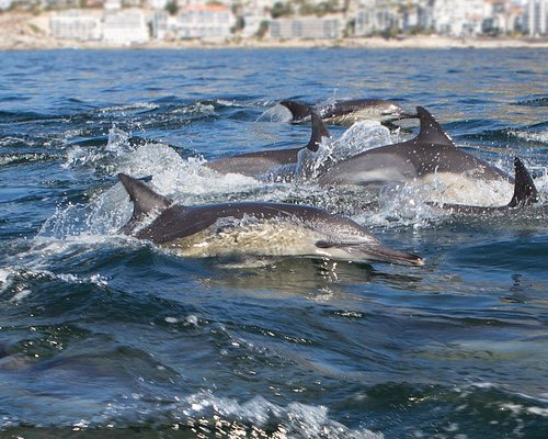 Long-beaked Common Dolphins visit Table bay in pods often numbering over 1000. They love to inte