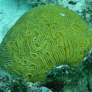 Stunning brain coral