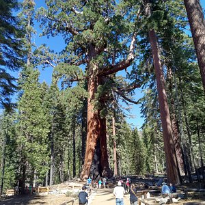 The Grizzly Giant tree at the Mariposa Grove in Yosemite NP