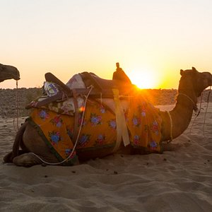 Sunset and resting camels at the dunes.