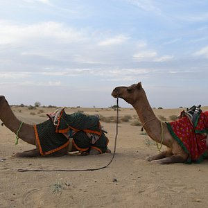 During the sunset the camels will laid next to you