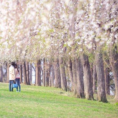 남이섬의 벚꽃