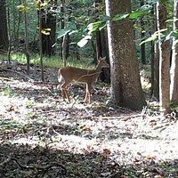 Deer feeding on Bull Run Mountain