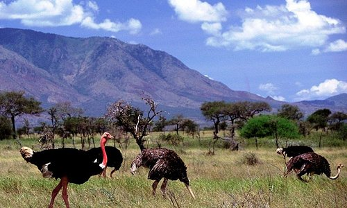 Ostriches are very beautiful large birds that can't fly but can run for about 70 kilometers per