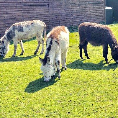Donkey Trio - Petal, Lola and Coco