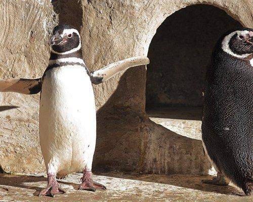 Magellan-Pinguine im Aquarium Wilhelmshaven