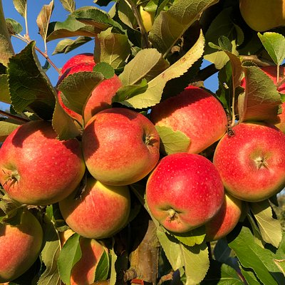 Selvpluk æbler i plantagen