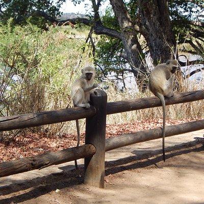 The very friendly tame monkeys