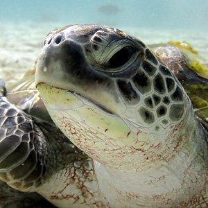Turtle at Koh Racha Yai