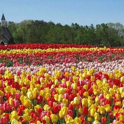 5月上旬には、23種類20万球のチューリップが咲き誇ります。 高原ならではの色鮮やかなチューリップを楽しむことができます。