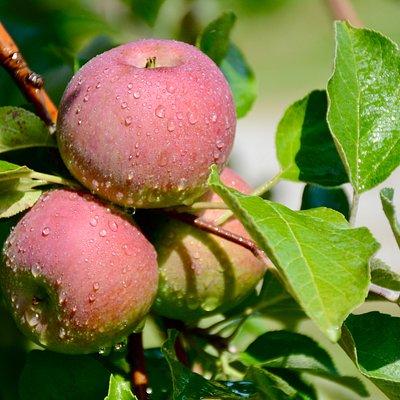Sweet apples at Ricker Hill.