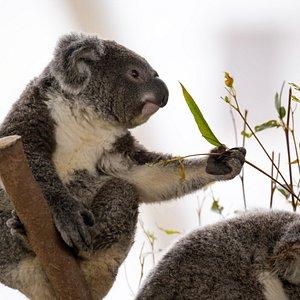 Buddy the Koala Joey