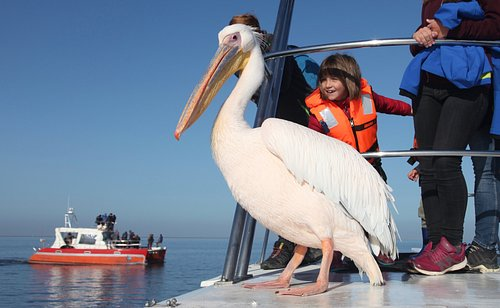 The pelicans are a major highlight of our Marine Dolphin Cruise.