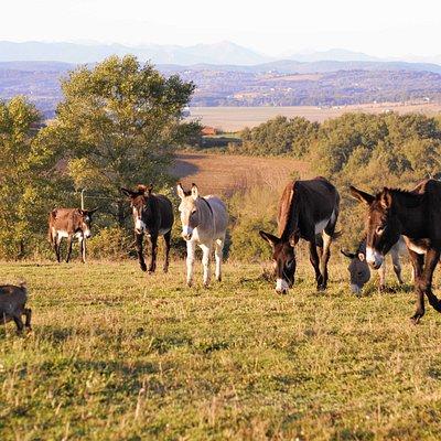 Nos ânes sur le plateau.