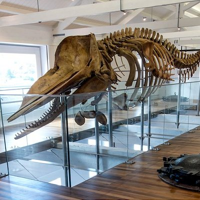 The whaling station features a 10 m sperm whale skeleton.  Foto: Paulo Henrique Silva | Siaram