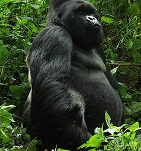 Mountain Gorilla trekking tours in Volcanoes National park in Rwanda.