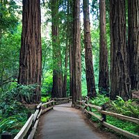 The massive redwood trees of Muir Woods National Monument outside San Francisco, California.