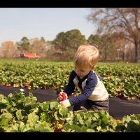 Strawberry picking in strawberry fields