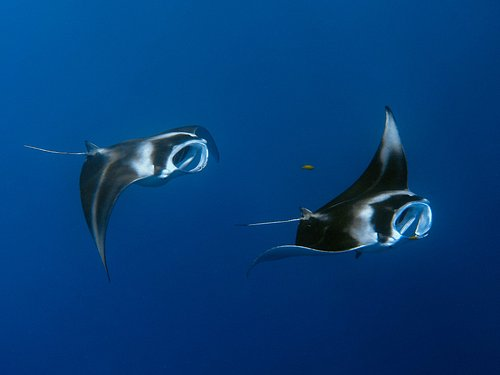 Manta Rays coming to the Cleaning Station
