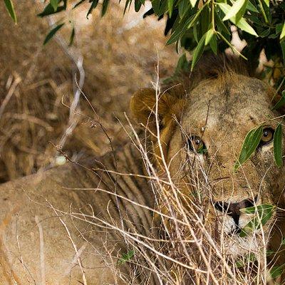 Leone nascosto tra gli arbusti Parco Tsavo east