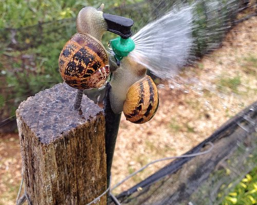 A thirsty snail!