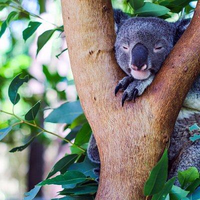 Meet Pebbles, Claudia, Hagrid, Kody and Thor at Bungalow Bay Koala Village - 3 tour times daily
