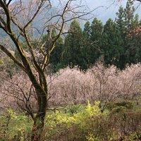 ピンクが綺麗な冬桜と紅葉
