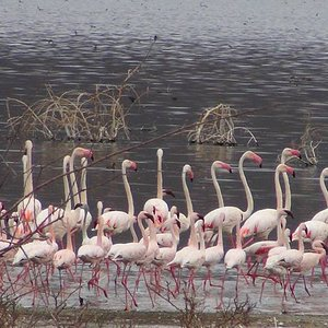 Flamingos in Lake Bogoria, famous for its hot springs and its alkaline nature makes the clay good for facials