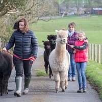 Walking the alpacas on halters in a safe environment