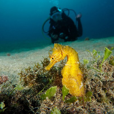 Seahorse on housereef.