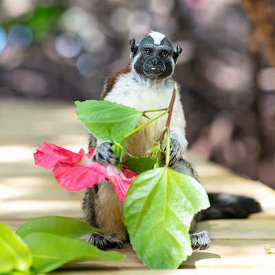 Geoffroy's tamarin holding a delicious hibiscus flower