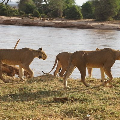 Lions in samburu national reserve,one of the best places to visit.