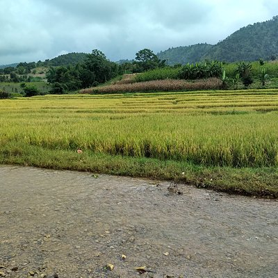 Rice fields near the hill tripe villages